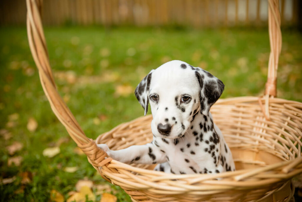 dalmation puppy in a basket